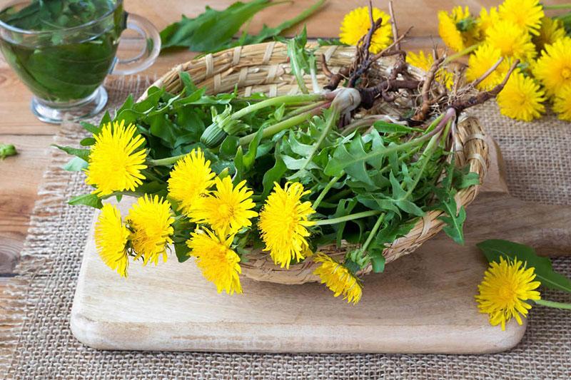 Bồ công anh chứa nhiều thành phần dinh dưỡng tốt cho sức khỏe